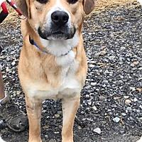 Adopt A Pet :: Golden Graham - Shinnston, WV