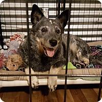 Adopt A Pet :: Dakota - New River, AZ