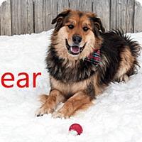 Adopt A Pet :: Bear - Hamilton, MT