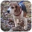 Photo 1 - Beagle Mix Dog for adoption in Dumfries, Virginia - Tanner