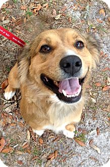 Australian Shepherd/German Shepherd Dog Mix Dog for adoption in Gainesville, Florida - Jingles
