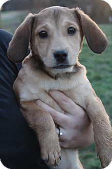 Cavalier King Charles Spaniel/Beagle Mix Puppy for adoption in Hamburg, Pennsylvania - June Bug