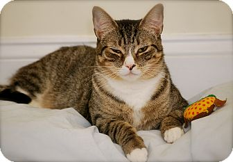 Domestic Shorthair Cat for adoption in Trevose, Pennsylvania - CeCe
