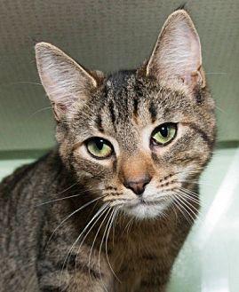 Domestic Shorthair Kitten for adoption in New York, New York - Copper