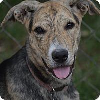 Adopt A Pet :: Jolie - Wimberley, TX