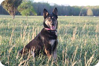 German Shepherd Dog Mix Dog for adoption in Morrisville, North Carolina - Nika