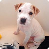 Adopt A Pet :: Nevaeh in TX - pending - Mira Loma, CA