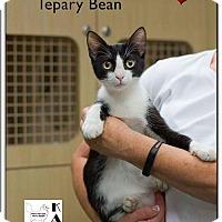 Adopt A Pet :: Tepary - Albuquerque, NM