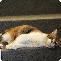 Domestic Shorthair Cat for adoption in Indianapolis, Indiana - Rosie Posie