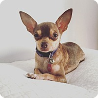 Adopt A Pet :: Fiona the teacup chi - Los Angeles, CA