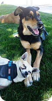 Shepherd (Unknown Type)/Australian Kelpie Mix Dog for adoption in Gilbert, Arizona - Lou