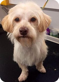 Schnauzer (Miniature)/Terrier (Unknown Type, Small) Mix Dog for adoption in Houston, Texas - Zeppelin Harris Turner