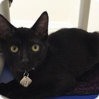 Adopt A Pet :: Torino - Colorado Springs, CO