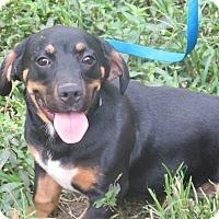 Adopt A Pet :: Loki - Plainfield, CT