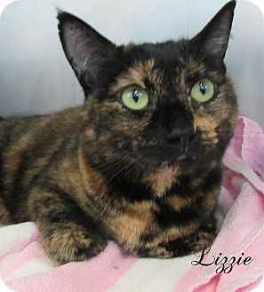 Domestic Shorthair Cat for adoption in Jackson, New Jersey - Lizzie