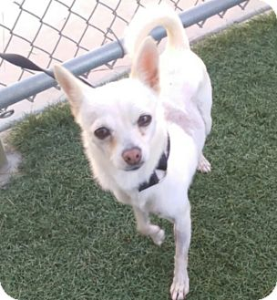 Chihuahua Mix Dog for adoption in Chula Vista, California - Bella