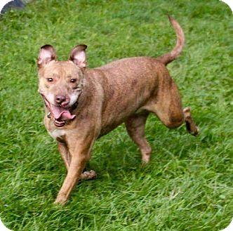 Vizsla/Terrier (Unknown Type, Medium) Mix Dog for adoption in Morris, Illinois - MONKEY