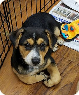 Cattle Dog Mix Puppy for adoption in Milford, New Jersey - Comet