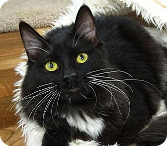 Domestic Mediumhair Cat for adoption in Woodland Hills, California - Lucy