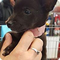 Adopt A Pet :: Genoveva/Adoption PENDING - Hillside, IL