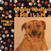 Cardigan Welsh Corgi/Chihuahua Mix Dog for adoption in Reno, Nevada - Douglas Wheelock