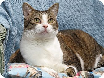 Domestic Shorthair Cat for adoption in San Carlos, California - Nicky