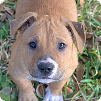 Adopt A Pet :: Xander - College Station, TX