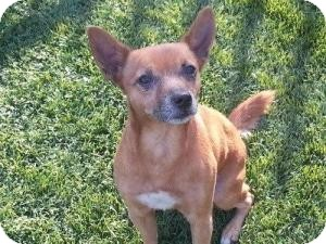 Terrier (Unknown Type, Small) Mix Dog for adoption in Justin, Texas - Albert