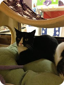 Domestic Shorthair Cat for adoption in Monroe, Georgia - Tipton