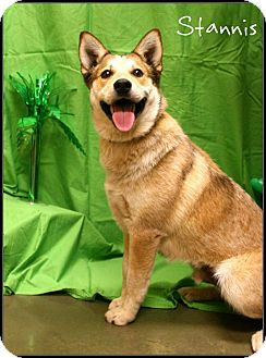 Australian Cattle Dog/Australian Cattle Dog Mix Dog for adoption in Ogden, Utah - Stannis