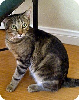 American Shorthair Cat for adoption in Escondido, California - Flynn