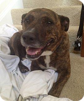 Labrador Retriever Mix Dog for adoption in Richmond, Virginia - Foxy