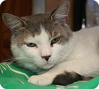 Domestic Shorthair Cat for adoption in Pendleton, New York - Sheldon