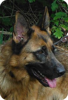 German Shepherd Dog Dog for adoption in Sterling, Virginia - Max 3629 / 3923