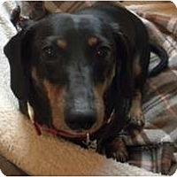 Adopt A Pet :: Tootsie - Douglas, MA
