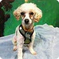 Adopt A Pet :: ocito - Goleta, CA