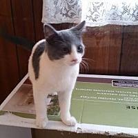 Domestic Shorthair Cat for adoption in Jefferson, Ohio - Elliot