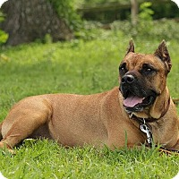 Adopt A Pet :: Tank-NC - Virginia Beach, VA