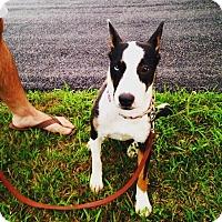 Adopt A Pet :: Frankie - Millersville, MD