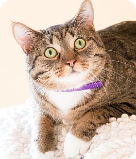 Domestic Shorthair Cat for adoption in Chicago, Illinois - Hughie