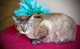 Siamese Cat for adoption in San Antonio, Texas - Marvin