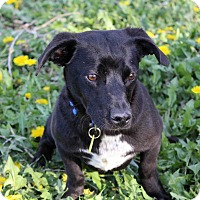 Adopt A Pet :: Renita - Westminster, CO