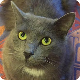 Domestic Longhair Cat for adoption in Burlington, North Carolina - STERLING
