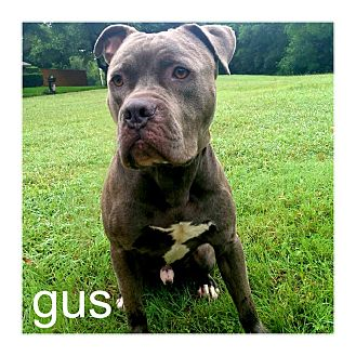 Staffordshire Bull Terrier/American Pit Bull Terrier Mix Dog for adoption in Dallas, Texas - Gus