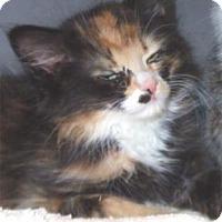 Domestic Mediumhair Kitten for adoption in Waupaca, Wisconsin - Rasta