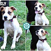 Adopt A Pet :: Curly - Kimberton, PA