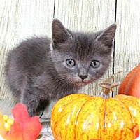 Domestic Shorthair Kitten for adoption in Harrisonburg, Virginia - Bundt Cake