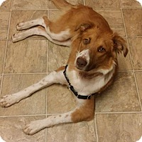 Adopt A Pet :: Sadie - Allen, TX