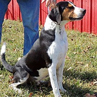 Treeing Walker Coonhound Mix Dog for adoption in Joplin, Missouri - Ruckas