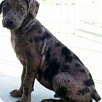 Catahoula Leopard Dog Mix Dog for adoption in Jewett City, Connecticut - Simone